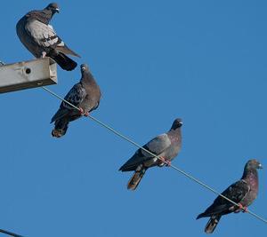 身近すぎる鳥 ハト