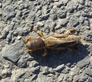 意外と万能な昆虫ケラ