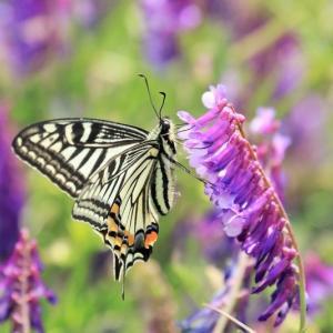 ヒラヒラと人気の昆虫 蝶②