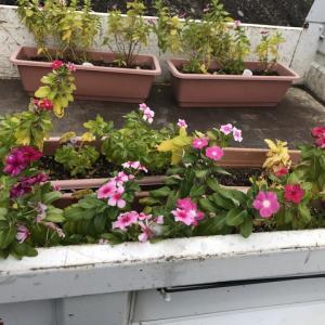 ショールームの花の植え替え