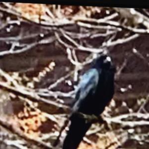 ☆支笏湖の不思議なカラス A mysterious phenomenon happened that a crow in the shrine turned white when it took off. …(Vol.62)