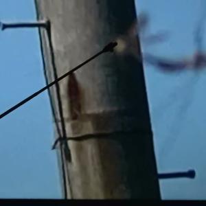 ☆高速で飛行する30cm〜40cmの巨大なカマキリのようなUMA。 We have taken UMA that is alike a giant mantis from 30cm to 40cm …(Vol.66)