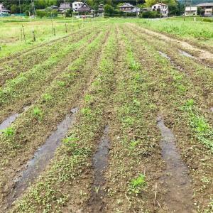 大豆畑が田んぼになった