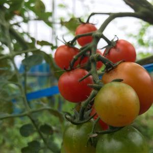 真っ赤なトマトを待ちわびて