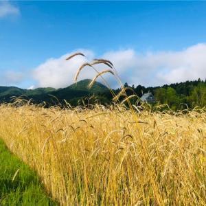 麦刈り日和〈ライ麦編〉