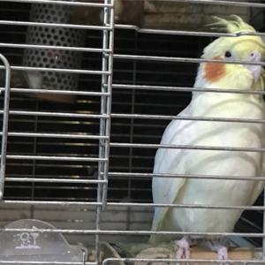 鳥かごに入って暮らす。詩子の詩398