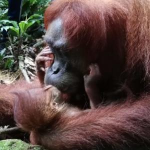 (後編)森の番人オランウータンとスマトラの大自然~インドネシア/グヌン・レウセル国立公園~