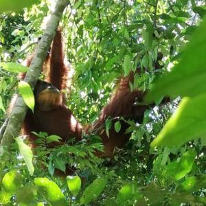 (前編)森の番人オランウータンとスマトラの大自然~インドネシア/グヌン・レウセル国立公園~