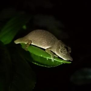 (前編)ヒメカメレオンを探しに夜の森へ~マダガスカル/ミチンジョ公園~