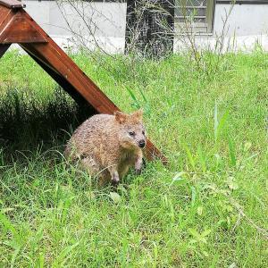 「世界一幸せな動物」クオッカがやってきた!~埼玉県こども動物自然公園~