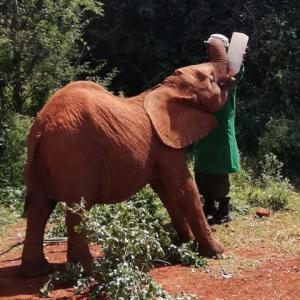 保護された子ゾウの未来を創る~ケニア/シェルドリック動物孤児院~