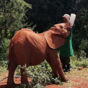 ケニア・シェルドリック動物孤児院~子ゾウの未来を創る~