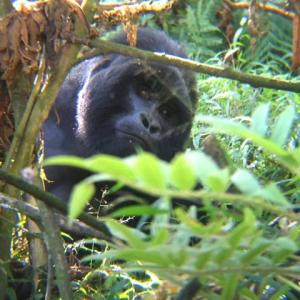 (後編)ウガンダ/ムガヒンガ・ゴリラ国立公園~堂々たるマウンテンゴリラ