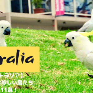 【オーストラリア】鳥大国に住む珍しい鳥たちの紹介 11選!