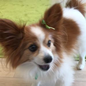 笑顔復活!豆苗の耳飾りのパピヨン。Smile Again! Papillon With A Pea Sprout Earring