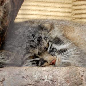 旭山動物園のグルーシャ4月23日は国際マヌルネコの日【北海道旭川市】