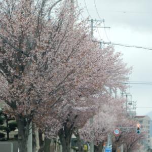 [江別花見スポット]「三番通り」、大麻15丁目から厚別へ向かう市道沿いに桜並木【江別市】
