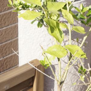 実付きレモンの木を購入♪→ナミアゲハの幼虫さんが産まれました!