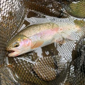 岩魚の渓の虹鱒。(市内河川)