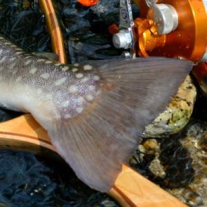 犀川の岩魚