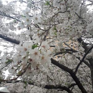 桜と新学年(☆∀☆)