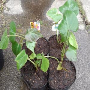 苗取り用のサツマイモの苗を使って『革新甘藷作法』をやってみたい!