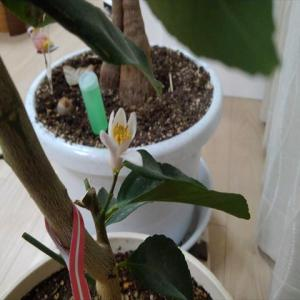 レモン(アレンユーレカ)の花が咲いた!