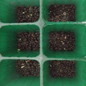 水耕栽培1号の状況。スプラウトニンニクも水耕の仲間になりました!