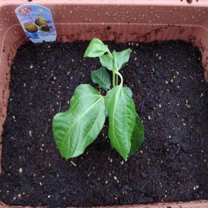 パッションフルーツを植え付けました!緑のカーテンにしよう!