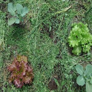 スギナ入りぼかし肥のレシピを考えてみる。家庭菜園でオリジナルぼかし肥を作ってみよう!