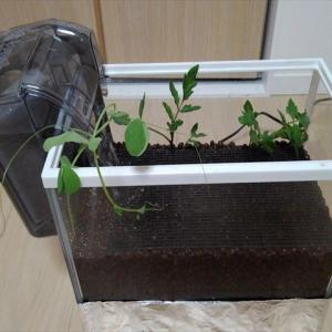 水槽栽培完成!ナイスリカバリーでなんとか使えそうな水耕栽培装置になりました!