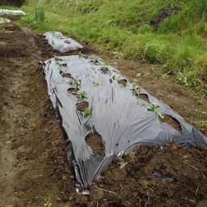 サツマイモの苗を植え第一弾!苗取りはいつになるやら。