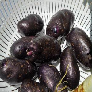 シャドークイーン初収穫!ブルーベリーよりもアントシアニン量が多いすごいジャガイモ!