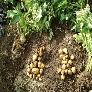 インカのめざめを全部収穫しました!ジャガ芽挿し&肥料袋栽培の結果も。