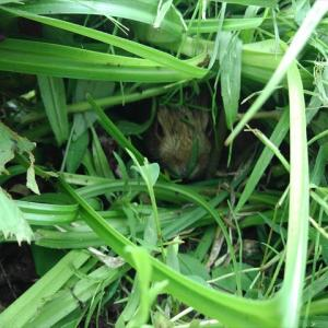 野ウサギの赤ちゃんとの出会い!