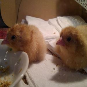 名古屋コーチンの卵が孵化しました!