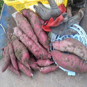 サツマイモ試し掘り。そして一部収穫!