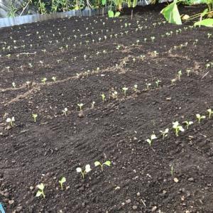 家庭菜園 大根、丸大根の芽が出てきました