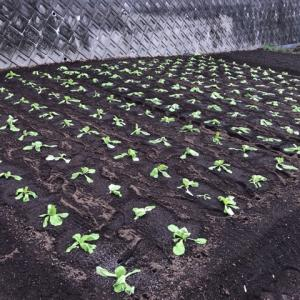 【家庭菜園】白菜の植替え210本