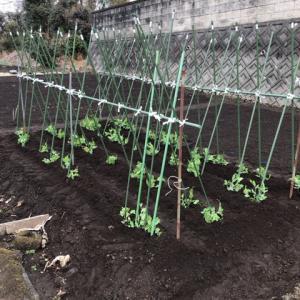 【家庭菜園】えんどう豆の支柱を立てました