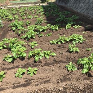 【家庭菜園】じゃがいもの芽かきと土寄せ