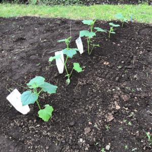 【家庭菜園】きゅうり、さつまいもを植えてみた