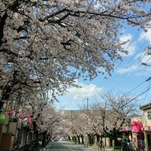 大阪市港区の桜通りの桜