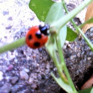 庭で見つけたてんとう虫