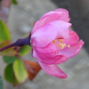 咲いたハナカイドウ 古民家の庭