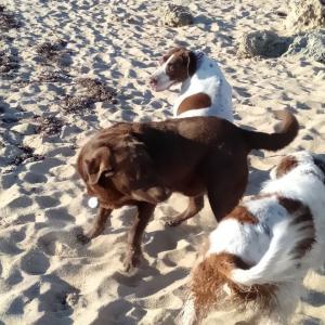 オーストラリアの人気犬種 Top5