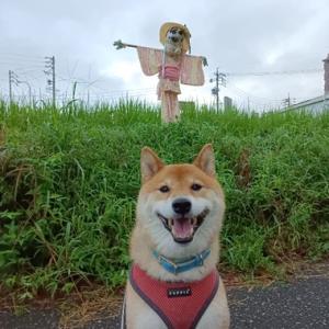 案山子と柴犬