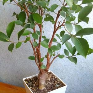 10    丸ハゲにされた観葉植物