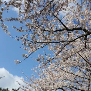 桜のエネルギー 春の癒し