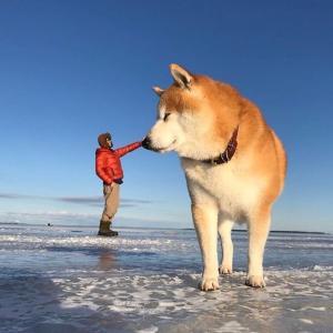 【画像】とんでもなく巨大な柴イッヌさんが発見されるwww